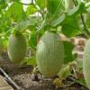 Агротехніка вирощування дині в теплиці