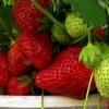 Ампельна полуниця: догляд і вирощування в домашніх умовах