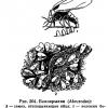 Білокрилка - непрохана гостя в теплиці