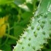 Щоб виростити багато огірків, потрібно правильно їх поливати