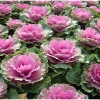 Декоративна капуста: правила посадки і вирощування