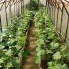 Формуємо огірки в теплиці
