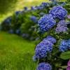 Гортензія садова: вишукана прикраса вашого ландшафту