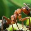 Як з теплиці вивести мурах