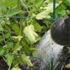 Як на своєму городі виростити солодкі помідори