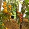 Як отримати багатий урожай в теплицях?