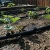 Крапельний полив для рясного врожаю полуниці