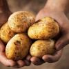 Як отримати відмінний урожай картоплі