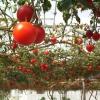 Як правильно вирощувати високорослі томати?
