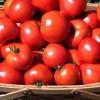 Як правильно виростити здорові помідори?