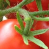 Як збільшити врожайність помідорів в теплиці?