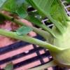 Як виростити капусту кольрабі і доглядати за нею?