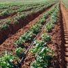 Як виростити картоплю по мітлайдера