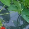 Як виростити полуницю, використовуючи агроволокно?