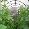 Як виростити огірки взимку