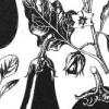 Як виростити парникові баклажани