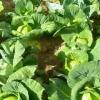 Як виростити пізню капусту?