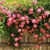 Як виростити троянди на дачі