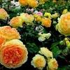 Як виростити троянди насіннєвим способом