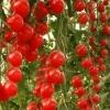 Як виростити томати спрут у себе в теплиці