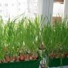Як виростити зелений лук в будь-який час року