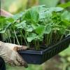 Які сорти огірків вибрати для вирощування в теплицях?