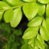 Чагарник вічнозелений і його різновиди