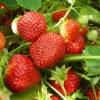 Кращі сорти полуниці для отримання цілорічних врожаїв