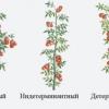 Догляд та вирощування томатів