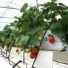 Метод самостійного вирощування полуниці