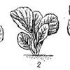 Новий погляд на вирощування капусти: нетрадиційні сорти