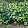 Хороший урожай огірків