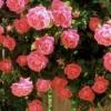 Плетиста троянда: вирощування і догляд