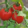 Чому в теплиці в'януть помідори?