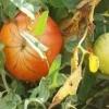 Чому жовтіє листя помідорів в теплиці?
