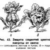 Правильно вирощуємо хорошу цвітну капусту