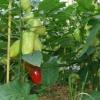 Правильне вирощування перців в теплиці