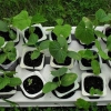 Розсада огірків для саду