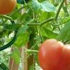 Самостійна підгодівля томатів при посадці