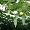 Спосіб збільшити урожай огірків в теплиці