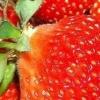 Технологія вирощування полуниці в теплиці