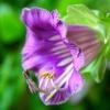Тропічний квітка кабе: правила вирощування
