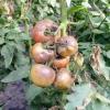 Шкідники, що викликають хвороби томатів у теплиці