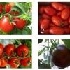 Вибір і вирощування томатів