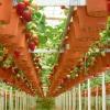 Вирощування полуниці на дому - немає нічого простіше!