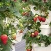 Вирощування полуниці вертикальним способом