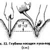 Вирощування цибулі на грядці: що потрібно знати початківцю городнику