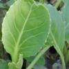 Вирощування розсади капусти різних видів