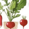 Вирощування редиски і її агротехніка
