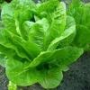 Вирощування салату на дачі